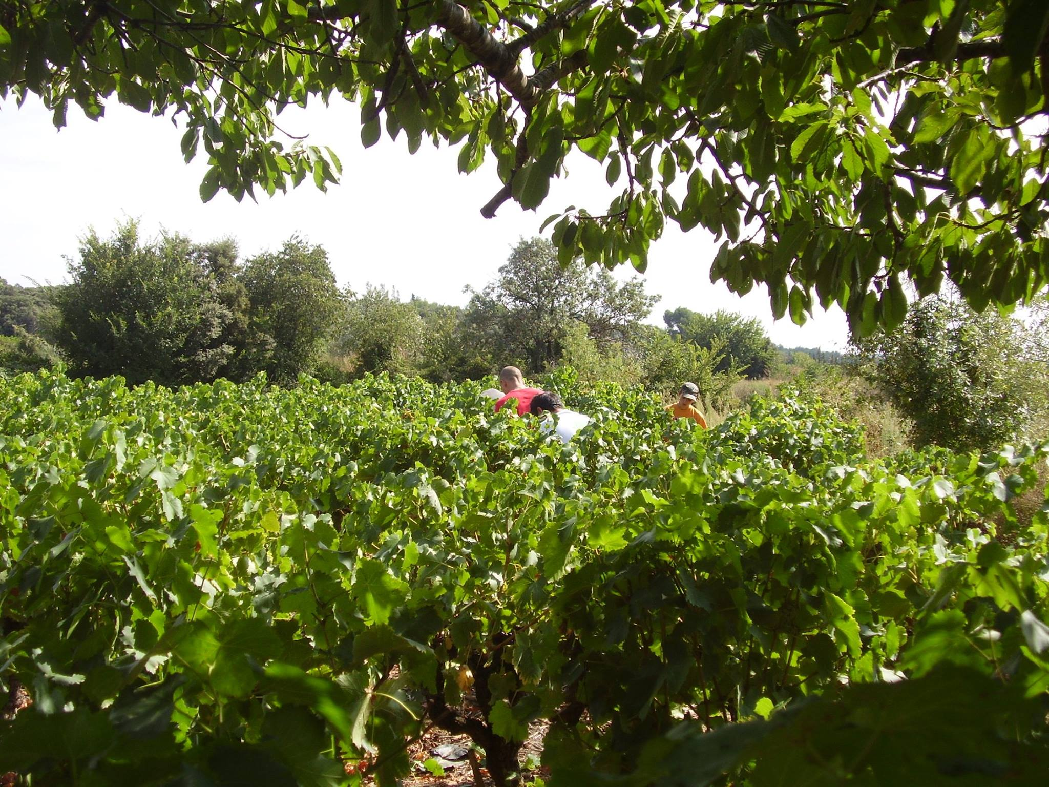 vignes - Caveau Tours et Terroirs d'Aniane