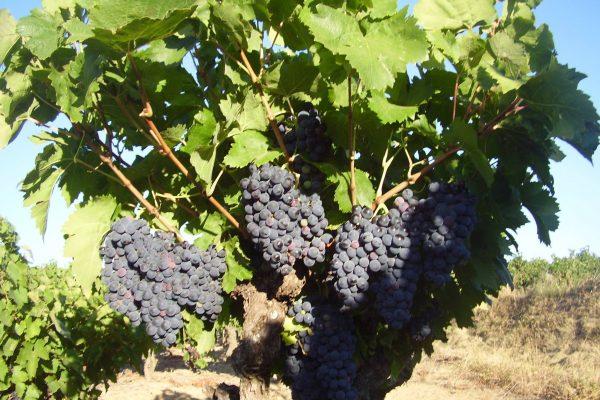 vigne - Caveau Tours et Terroirs d'Aniane